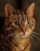 Photo of a tabby cat by Chris Martin Photography