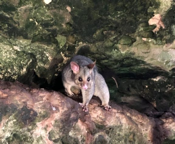 Umpherston's resident possum paused for a close-up