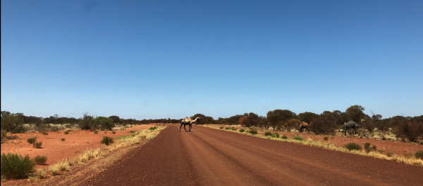 Camels crossing a red dirt road, outback Australia